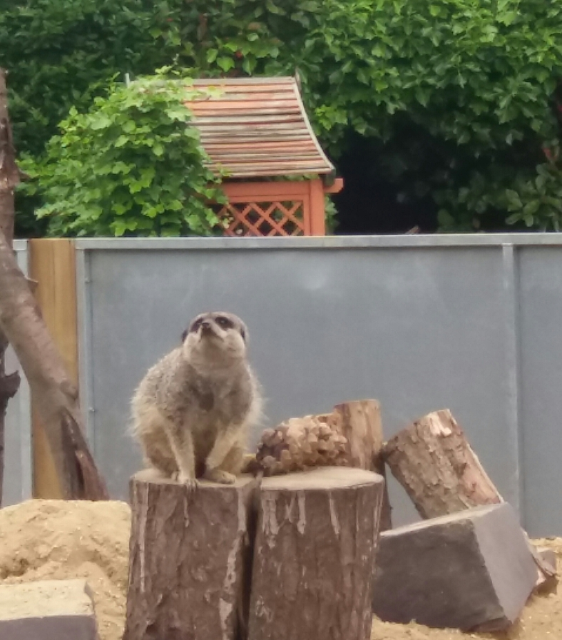 Meerkat Capel